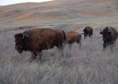 sie vermehren sich wieder - Bisons